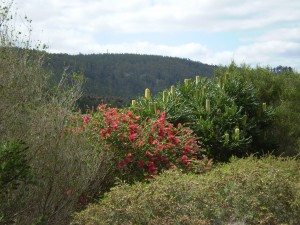 Nannup Road Banksia